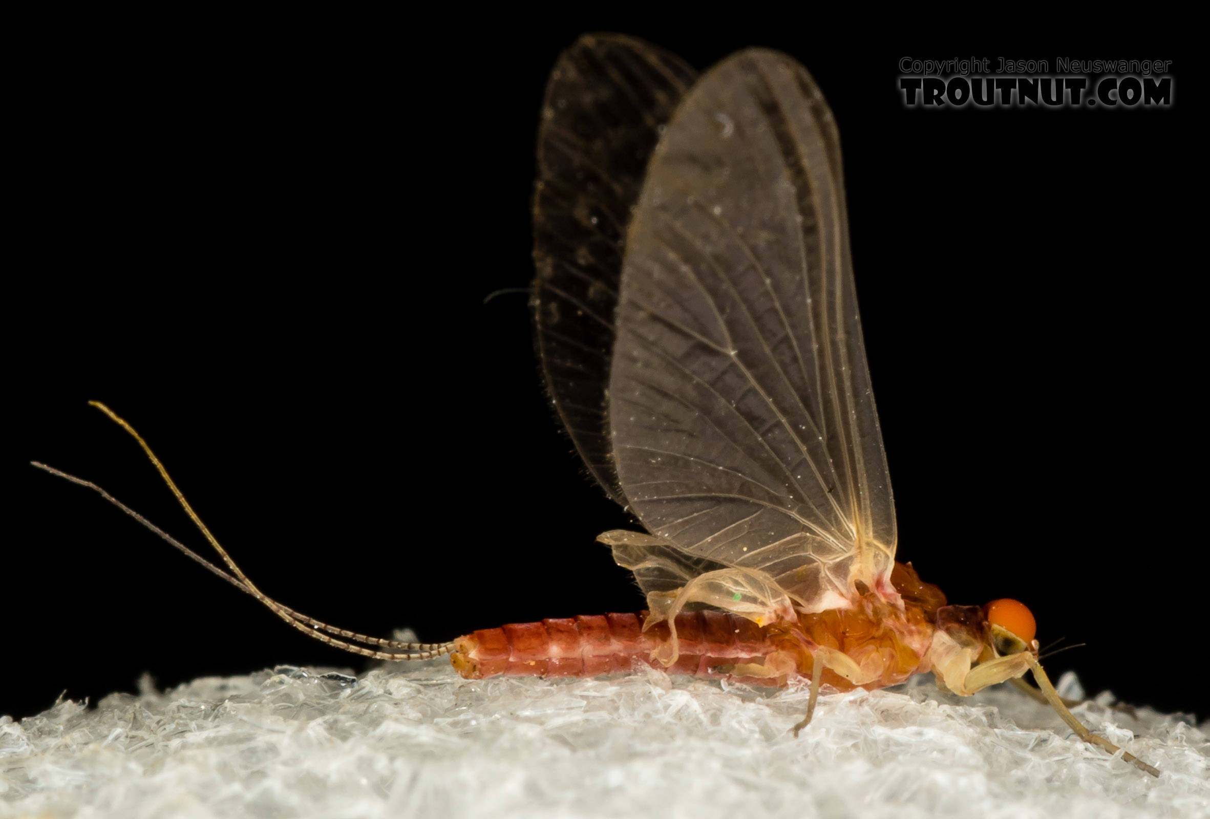 Male Ephemerellidae (Hendricksons, Sulphurs, PMDs, BWOs) Mayfly Dun from the South Fork Snoqualmie River in Washington