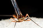 Male Rhithrogena virilis  Mayfly Spinner