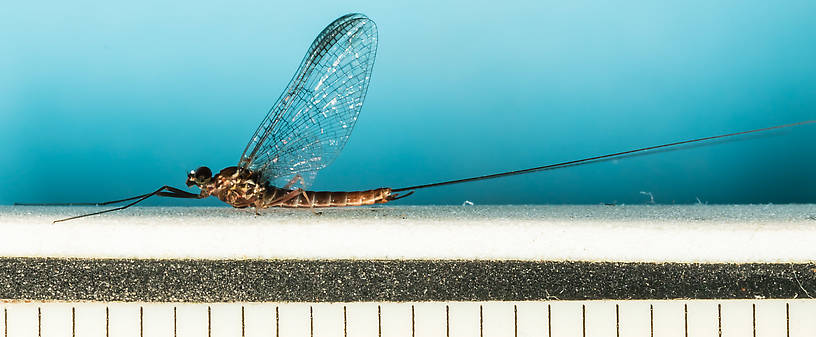 Male Rhithrogena virilis Mayfly Spinner from the South Fork Snoqualmie River in Washington