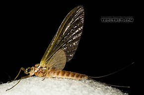 Female Rhithrogena virilis  Mayfly Dun