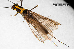 Female Pictetiella expansa  Stonefly Adult