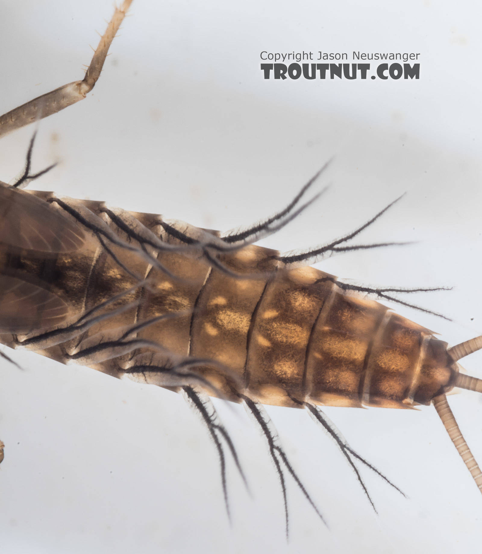 Neoleptophlebia Mayfly Nymph from the South Fork Snoqualmie River in Washington