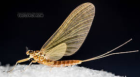 Female Heptageniidae (March Browns, Cahills, Quill Gordons) Mayfly Dun