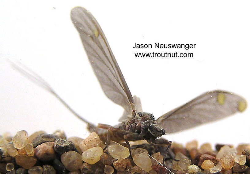 Female Ephemerella subvaria (Hendrickson) Mayfly Dun from the Namekagon River in Wisconsin