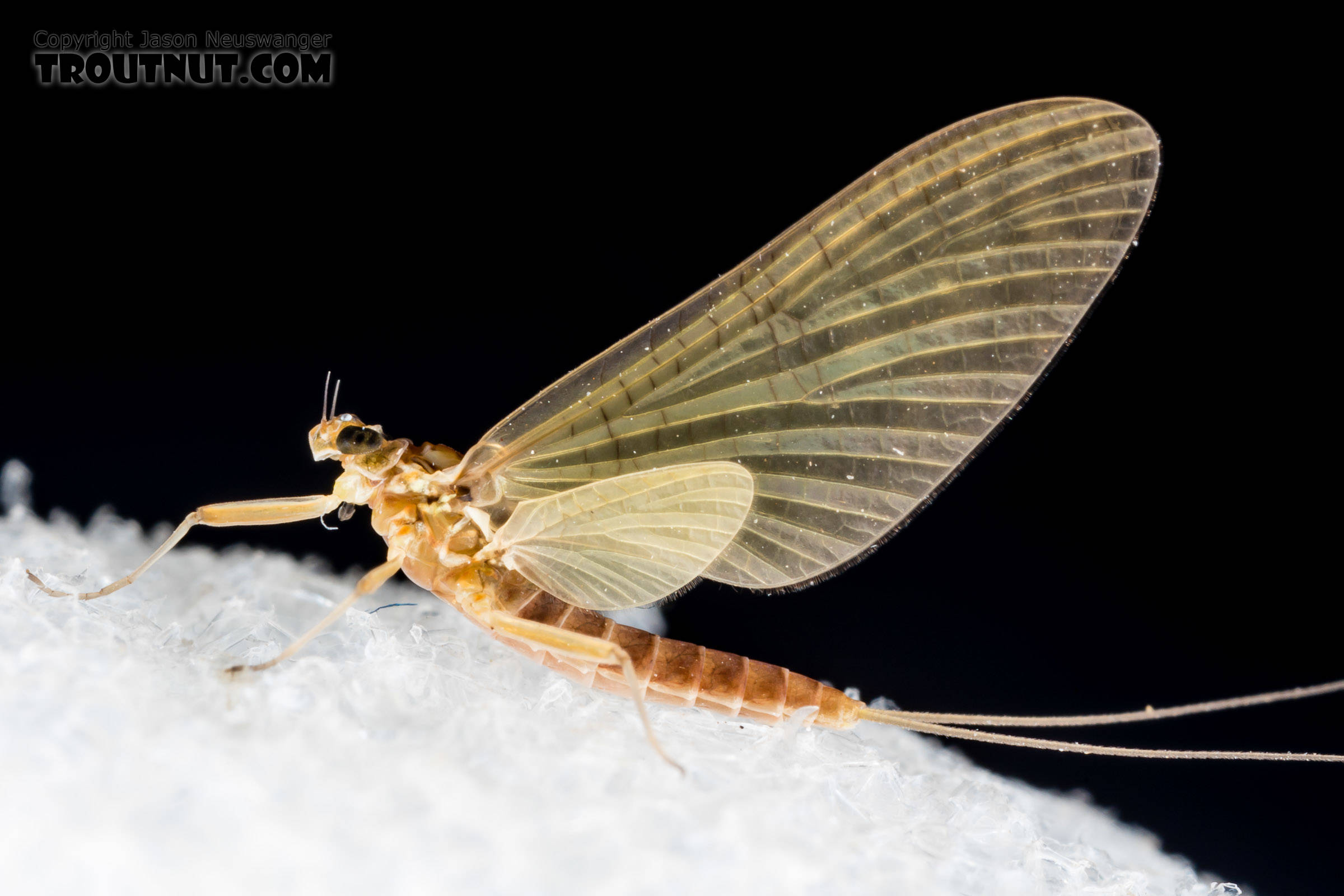 Female Heptageniidae (March Browns, Cahills, Quill Gordons) Mayfly Dun from the South Fork Snoqualmie River in Washington