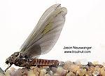 Female Ephemerella subvaria (Hendrickson) Mayfly Dun