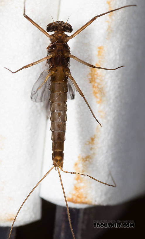 Male Paraleptophlebia (Blue Quills and Mahogany Duns) Mayfly Dun from the Big Hole River in Montana