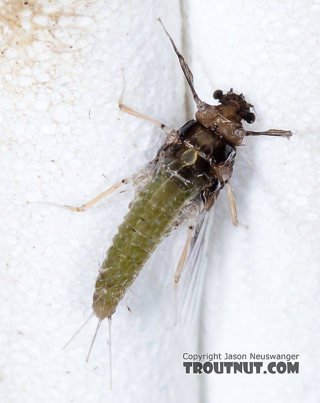 Female Tricorythodes (Tricos) Mayfly Spinner from the Big Hole River in Montana