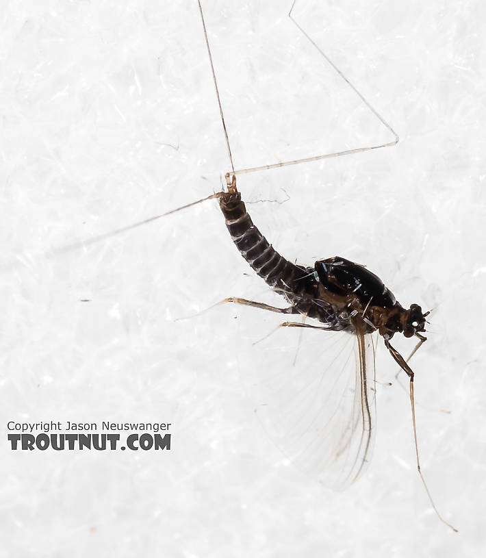 Male Tricorythodes (Tricos) Mayfly Spinner from the Big Hole River in Montana