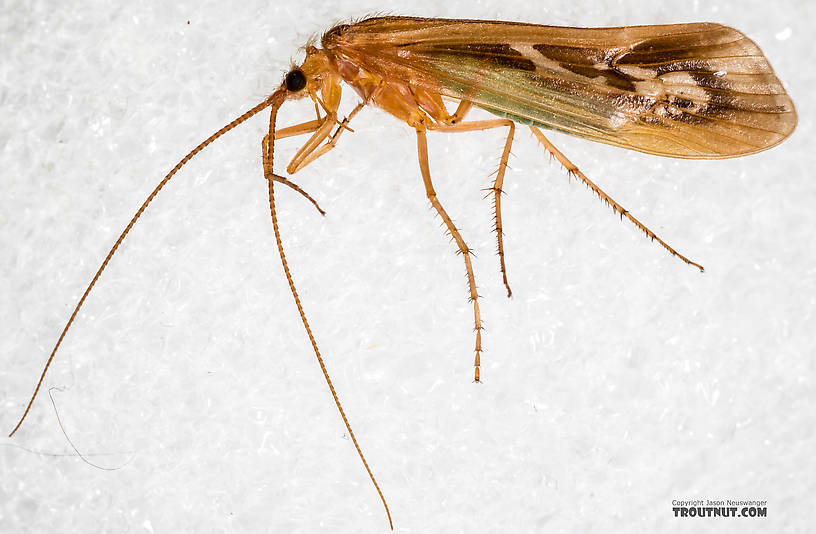 Male Limnephilus externus (Summer Flier Sedge) Caddisfly Adult from the Henry's Fork of the Snake River in Idaho