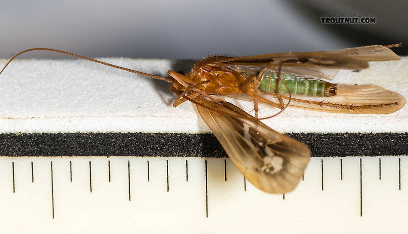 "Each measurement mark is 1/16"".  Male Limnephilus externus (Summer Flier Sedge) Caddisfly Adult from the Henry's Fork of the Snake River in Idaho"