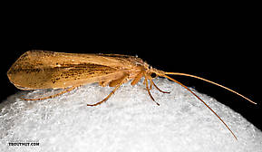 Female Grammotaulius lorettae (Northern Caddisfly) Caddisfly Adult