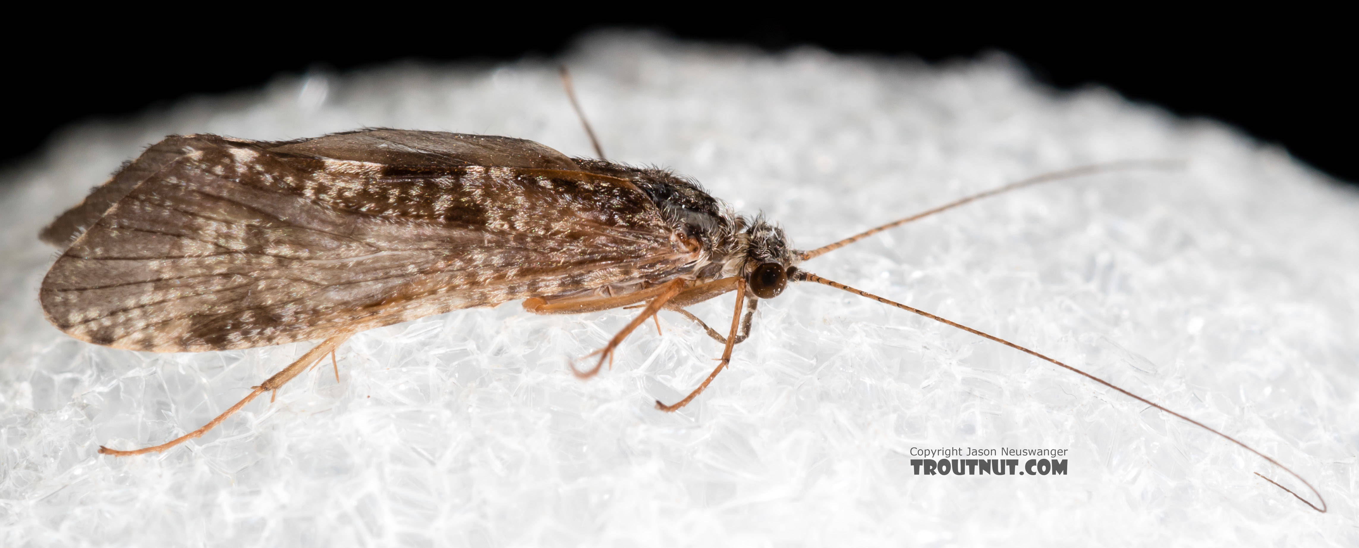 Male Hydropsyche (Spotted Sedges) Caddisfly Adult from the Henry's Fork of the Snake River in Idaho