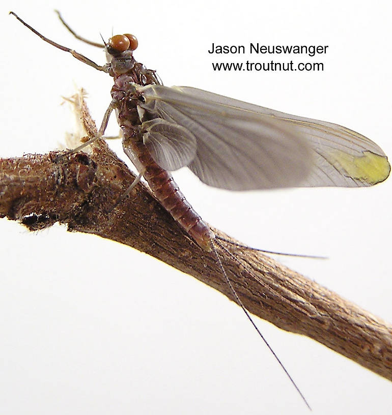 The yellow in this dun's wing is from an injury, not its natural color.  Male Ephemerella subvaria (Hendrickson) Mayfly Dun from the Namekagon River in Wisconsin