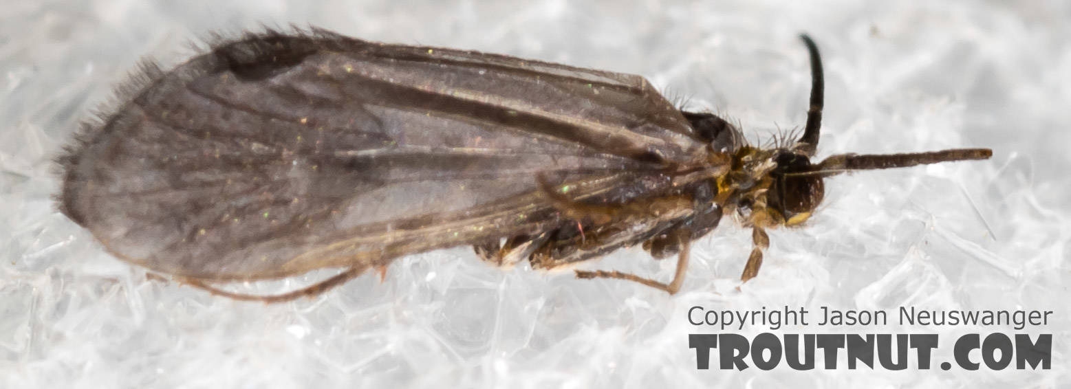 Amiocentrus aspilus (Little Western Weedy Water Sedge) Caddisfly Adult from the Henry's Fork of the Snake River in Idaho
