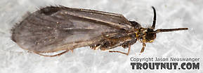 Amiocentrus aspilus (Little Western Weedy Water Sedge) Caddisfly Adult