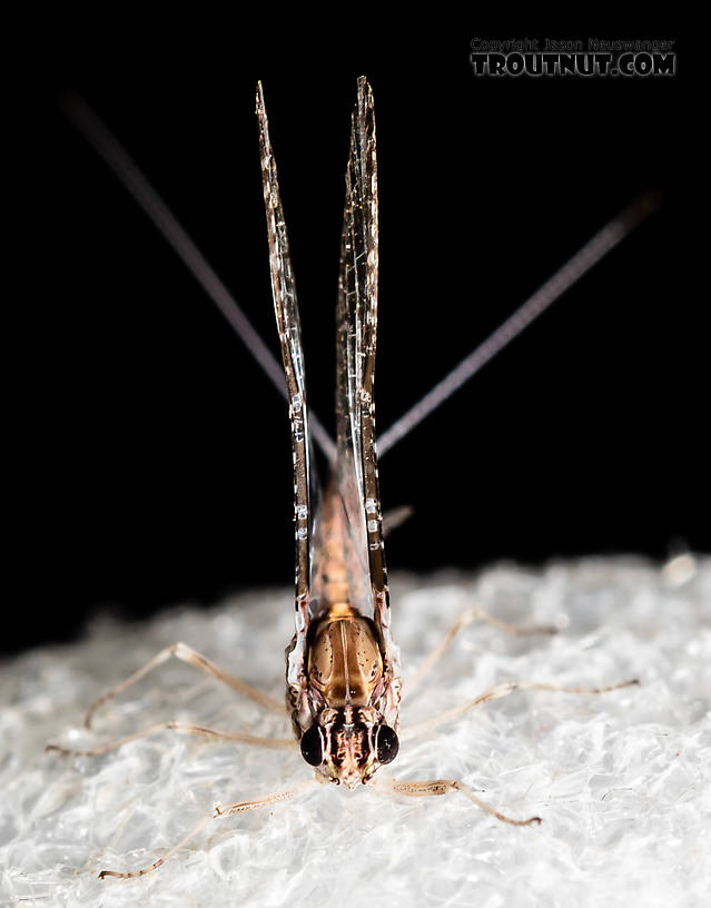 Male Callibaetis (Speckled Spinners) Mayfly Spinner from the Henry's Fork of the Snake River in Idaho