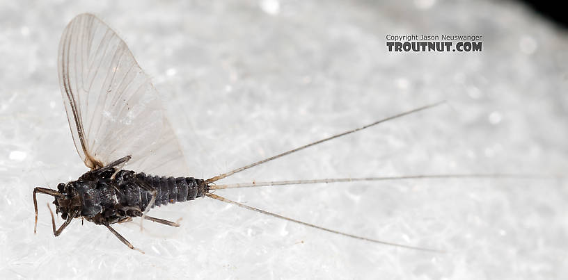 Male Tricorythodes (Tricos) Mayfly Spinner from the Henry's Fork of the Snake River in Idaho