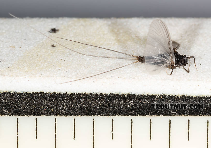 Every ruler mark is 1/16 inch.  Male Tricorythodes (Tricos) Mayfly Spinner from the Henry's Fork of the Snake River in Idaho