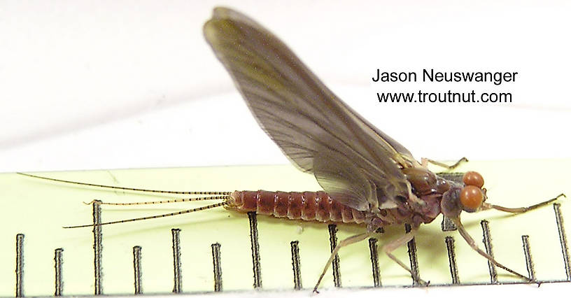 Male Ephemerella subvaria (Hendrickson) Mayfly Dun from the Namekagon River in Wisconsin