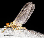 Male Ephemerellidae (Hendricksons, Sulphurs, PMDs, BWOs) Mayfly Dun