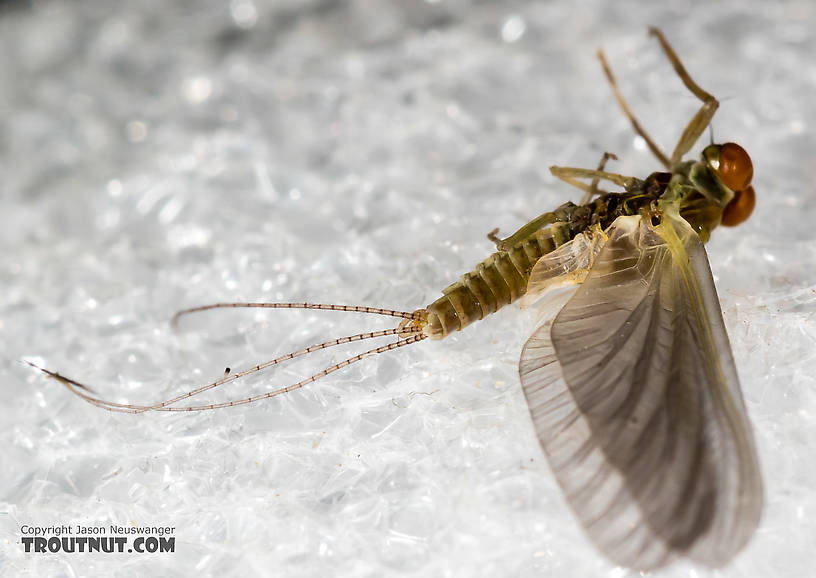 Male Ephemerellidae (Hendricksons, Sulphurs, PMDs, BWOs) Mayfly Dun from the Henry's Fork of the Snake River in Idaho