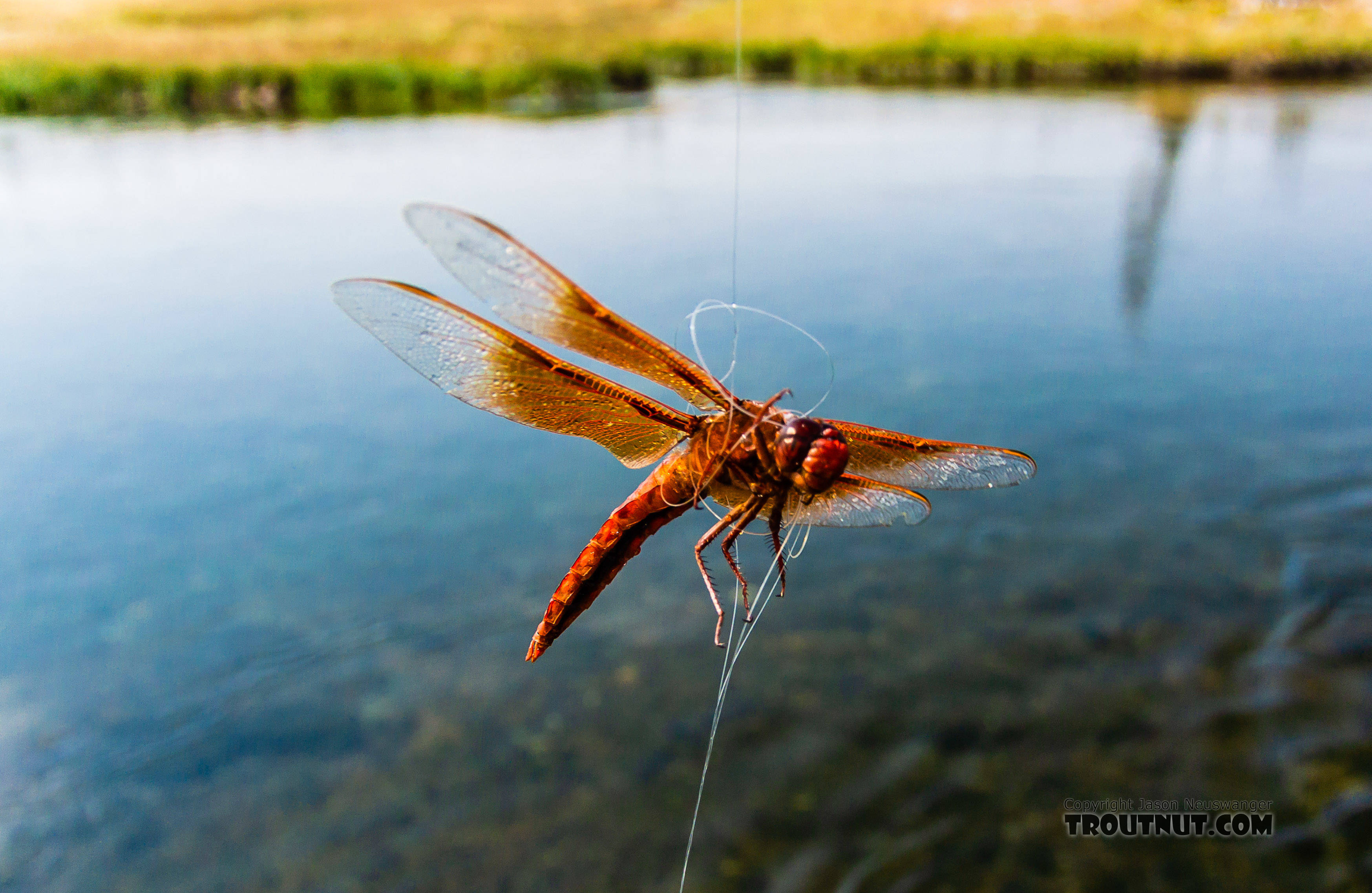 Libellulidae Dragonfly Adult from the Henry's Fork of the Snake River in Idaho