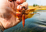 Libellulidae  Dragonfly Adult