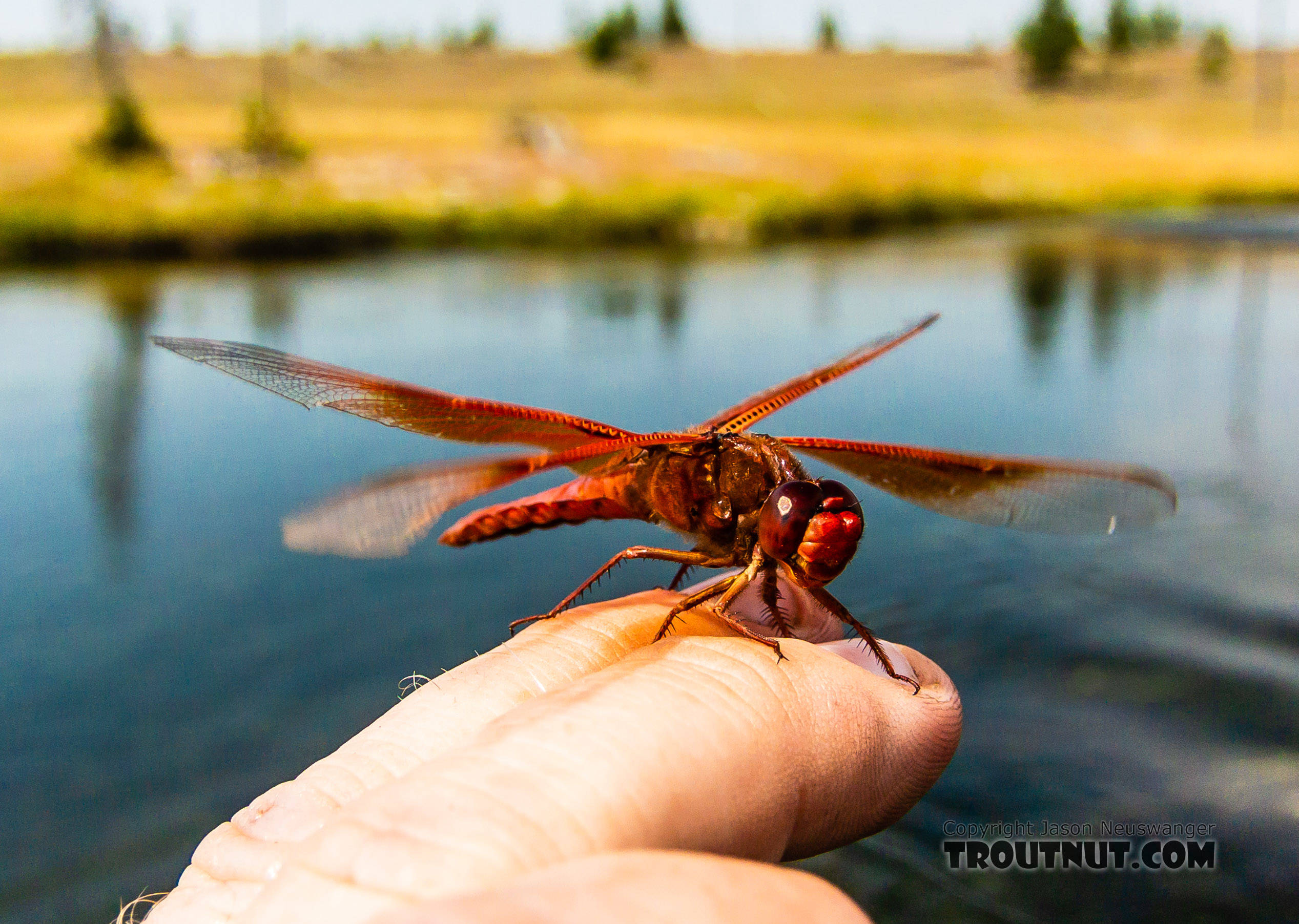 This Flame Skimmer dragonfly is found only in the warm southwest US and in Yellowstone, where geothermal features provide the warm water its nymphs need.  Libellulidae Dragonfly Adult from the Henry's Fork of the Snake River in Idaho