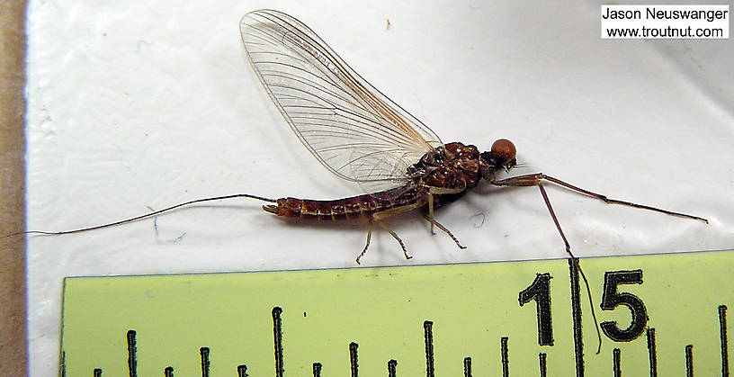 Male Ephemerella subvaria (Hendrickson) Mayfly Spinner from unknown in Wisconsin