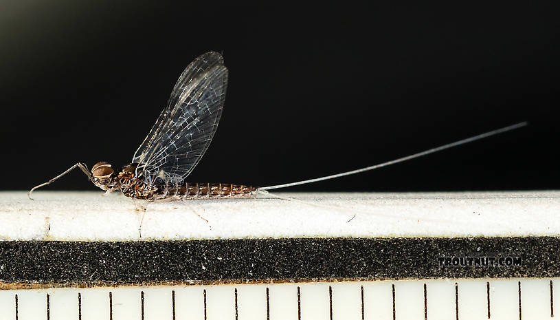 Each length mark is 1/16 inch.  Male Callibaetis (Speckled Spinners) Mayfly Spinner from the Firehole River in Wyoming