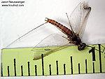 Male Ephemerella subvaria (Hendrickson) Mayfly Spinner