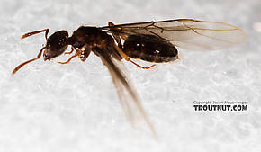 Female Formicidae (Ants) Insect Adult