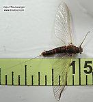 Female Ephemerella subvaria (Hendrickson) Mayfly Spinner