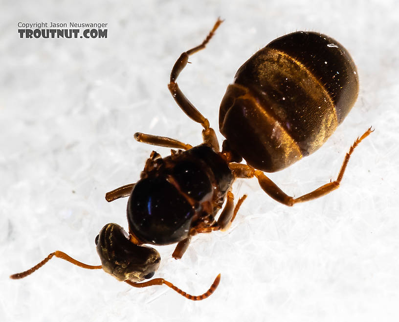 Female Formicidae (Ants) Ant Adult from Mystery Creek #227 in Montana