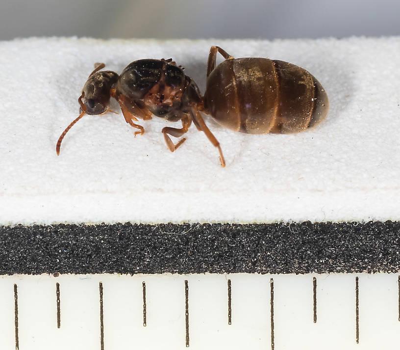 Each ruler mark is 1/16 inch.  Female Formicidae (Ants) Ant Adult from Mystery Creek #227 in Montana