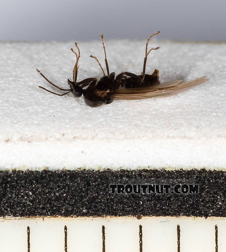 Each measurement mark is 1/16 inch -- this is a tiny ant.  Formicidae (Ants) Ant Adult from Mystery Creek #227 in Montana