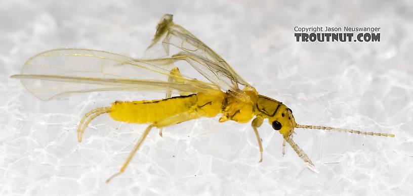 Chloroperlidae (Sallflies) Stonefly Adult from Mystery Creek #227 in Montana
