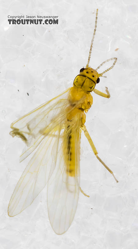 Chloroperlidae (Sallflies) Stonefly Adult from Mystery Creek #227 in Montana