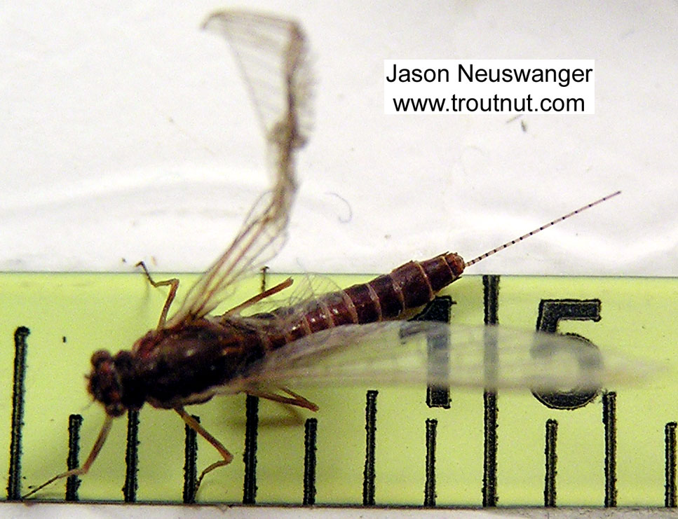 Female Ephemerella subvaria (Hendrickson) Mayfly Spinner from the Bois Brule River in Wisconsin