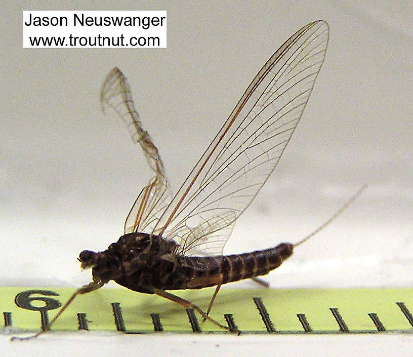 Female Ephemerella subvaria (Hendrickson) Mayfly Spinner from the Bois Brule River in Wisconsin