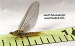 Female Ephemerella invaria (Sulphur Dun) Mayfly Spinner