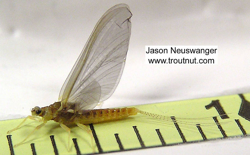 Female Ephemerella invaria (Sulphur Dun) Mayfly Spinner from the Namekagon River in Wisconsin