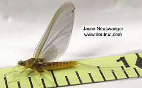 Female Ephemerella invaria (Sulphur Dun) Mayfly Spinner