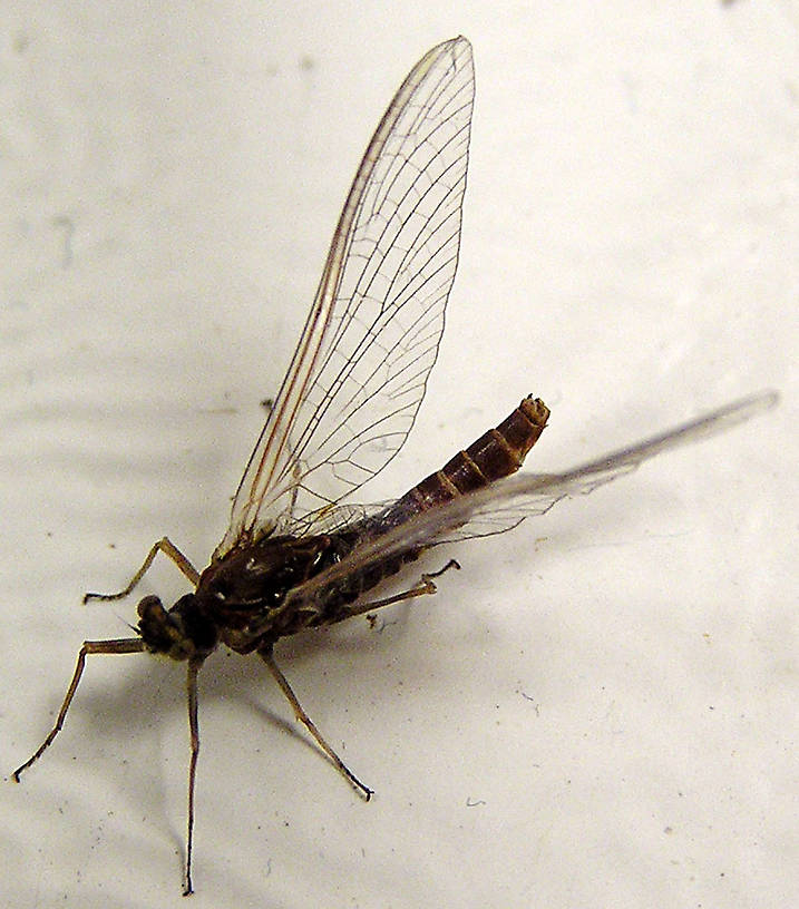 Female Ephemerella subvaria (Hendrickson) Mayfly Spinner from unknown in Wisconsin