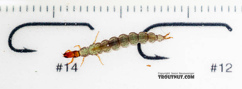Rhyacophila (Green Sedges) Caddisfly Larva from the South Fork Snoqualmie River in Washington