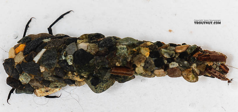 Limnephilidae (Northern Caddisflies) Caddisfly Larva from the South Fork Snoqualmie River in Washington