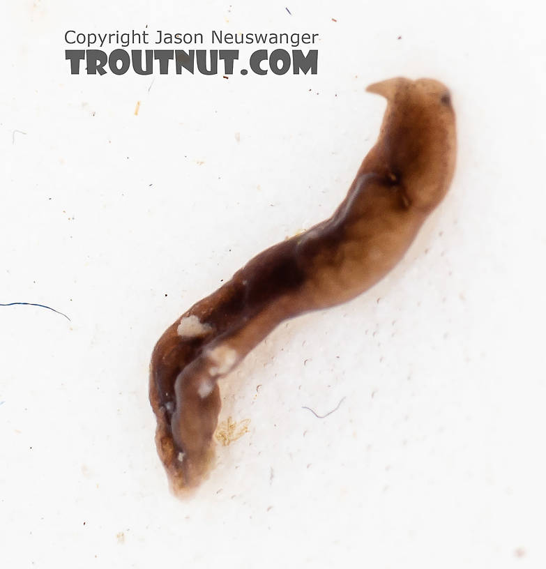 Platyhelminthes (Flatworms) Flatworm from the South Fork Snoqualmie River in Washington