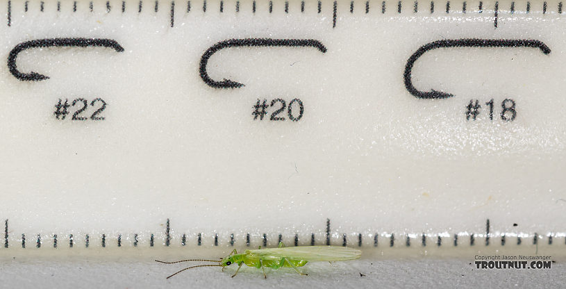Female Alloperla (Sallflies) Stonefly Adult from the North Fork Couer d'Alene River in Idaho