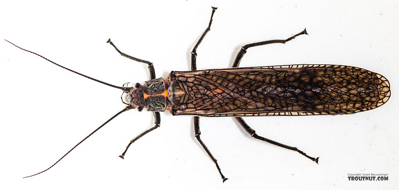 Female Pteronarcys californica (Giant Salmonfly) Stonefly Adult from the Madison River in Montana